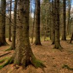 Game of Thrones ~ Tollymore Forest: Lands Around Winterfell (copyright Northern Ireland Tourist Board)
